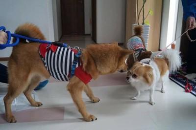 芝犬とチワワ