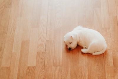 フローリングで眠る子犬