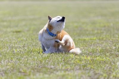 原っぱで首を掻く柴犬