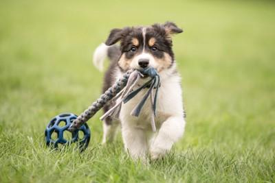 芝生の上でオモチャで遊ぶ子犬