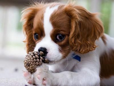 松ぼっくりと子犬のキャバリア