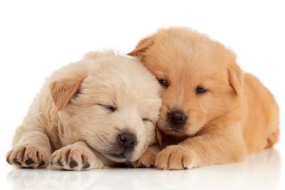 2匹のチャウチャウの子犬