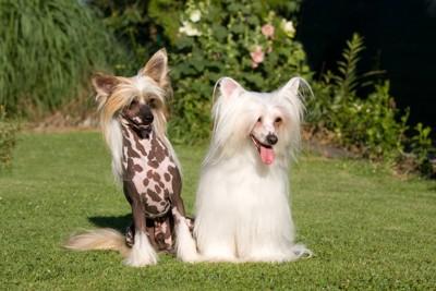 毛質が異なる2頭のチャイニーズクレステッドドッグ