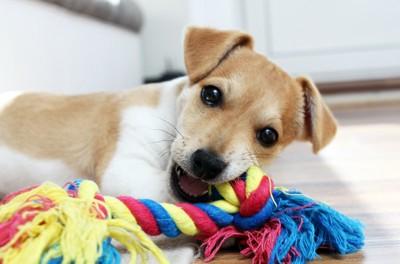 ロープのおもちゃを噛む子犬
