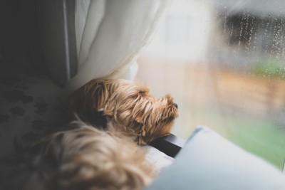 窓辺で眠る犬