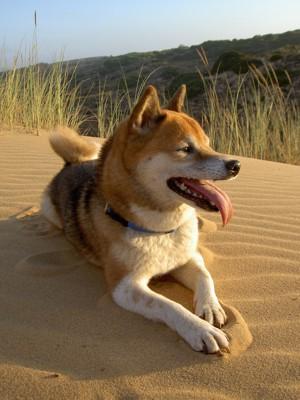 砂の上にフセをする柴犬
