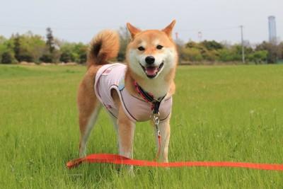 赤い長いリードをつけたお散歩中の柴犬