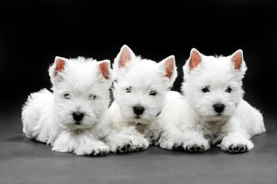 スコティッシュテリアの子犬