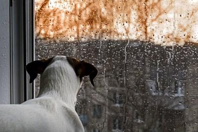 雨が降っている外を窓辺で見ている犬