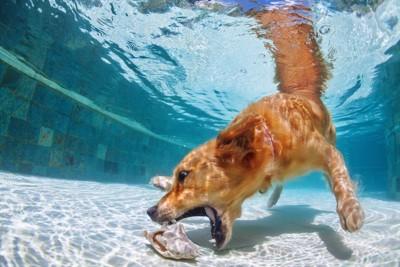 水中に潜って遊ぶ犬