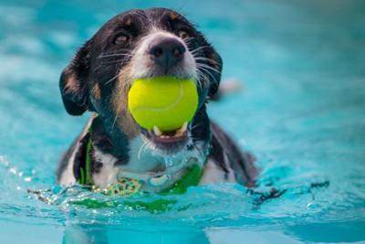 プールでボールをくわえる犬