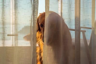 カーテンの陰に隠れて顔を覗かせる犬