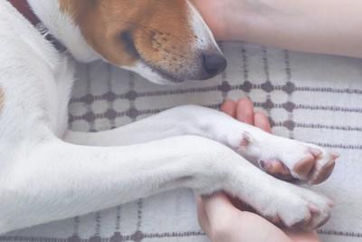 手を握られて横たわっている犬