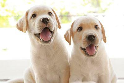2匹のラブラドールレトリバーの幼犬