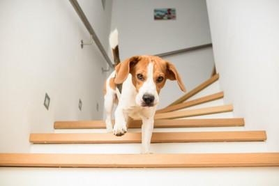 階段を下りるビーグル犬