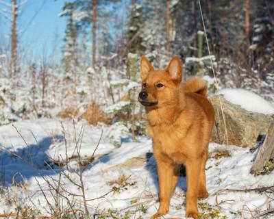 雪景色のフィニッシュスピッツ