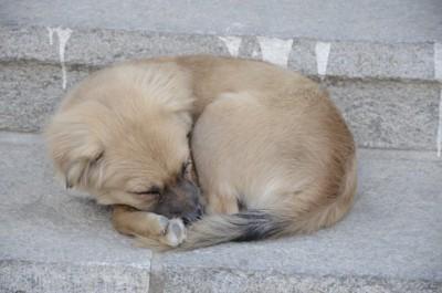 石段の上で丸くなって寝る仔犬