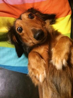 仰向けになりこちらを見つめている犬