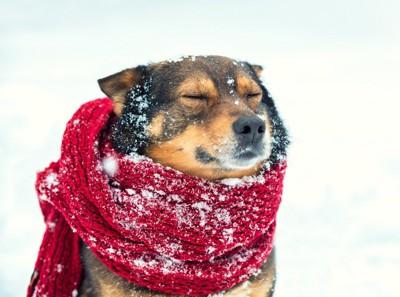 雪の中でマフラーを巻いている犬