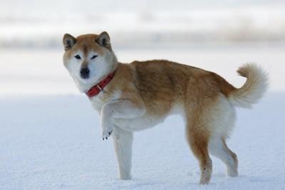 雪の上で片足を上げる柴犬
