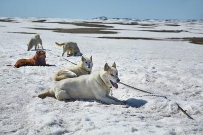 雪の上のソリ犬たち