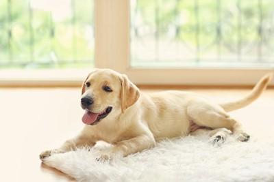 白いラグとラブラドールの子犬