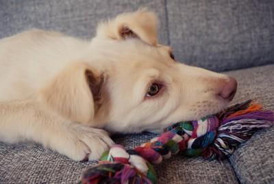 おもちゃを噛んで遊ぶ犬