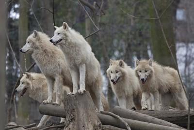 ホッキョクオオカミの群れ