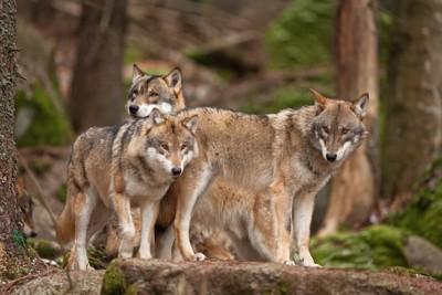 寄り添う3匹の灰色オオカミ