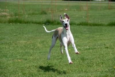 ジャンプしながら広場を走る犬