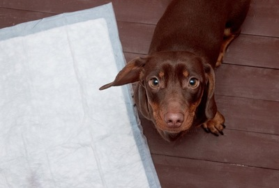 トイレシートと見あげる犬