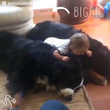 2匹の犬に乗る赤ちゃん