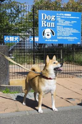 ドッグランの入り口に立つ柴犬