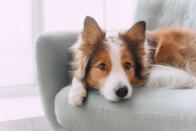 ソファーに乗る犬