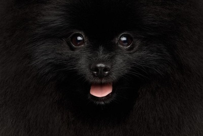 黒いポメラニアンのアップの写真