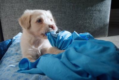 青い毛布を咥える子犬