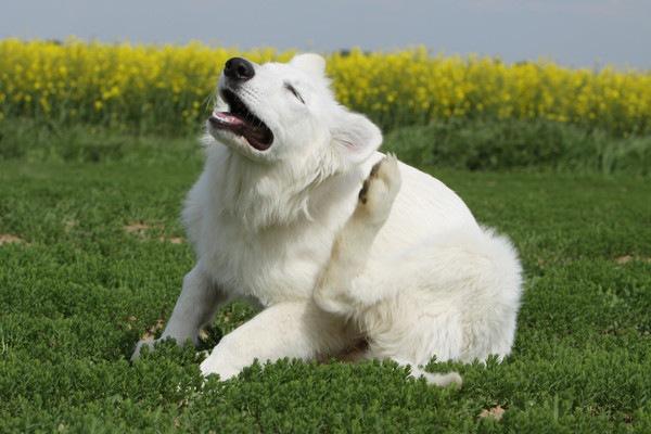 耳を掻く白い犬