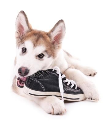 スニーカーを噛む犬