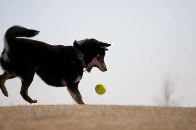 ボール遊びをする柴犬