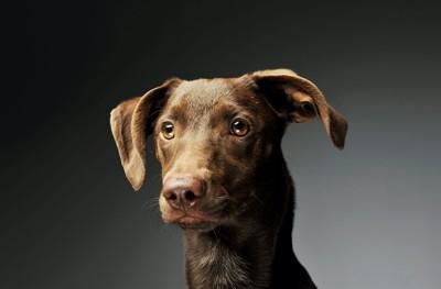 遠くを見つめるブラウンの犬