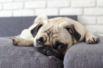 ソファーで悲しそうにうつ伏せしているパグ