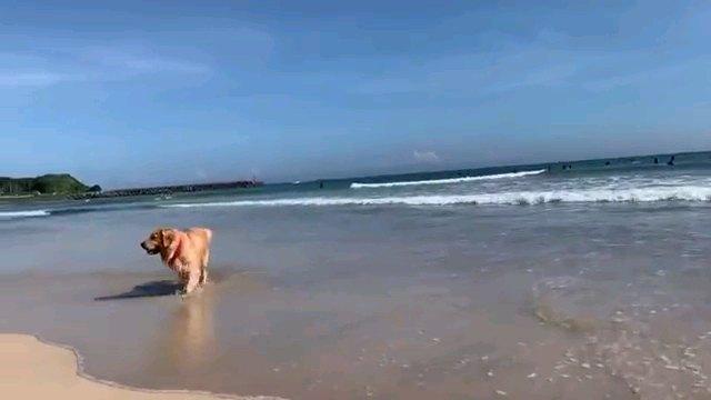 浜辺を歩く犬 やや正面