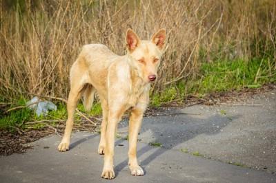 道に佇む痩せた野良犬