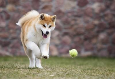 ボールを追う秋田犬