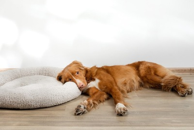 ベッドを枕代わりにしている犬