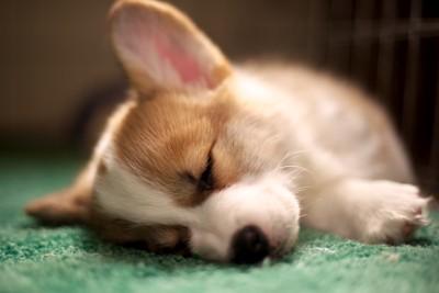 休養する犬