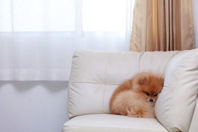 ソファーの隅で丸くなるポメラニアン