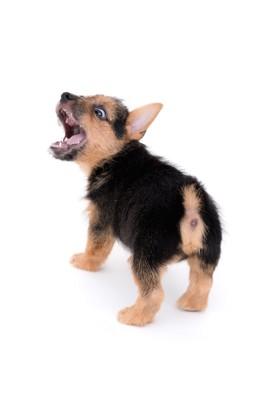 大きく口を開けて吠える子犬
