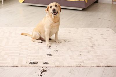 泥のついたマットの上に座っているラブラドール