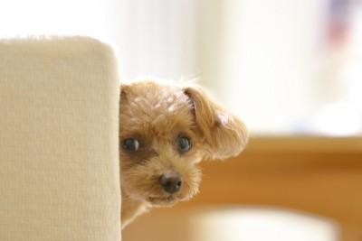 ソファー影から覗く犬